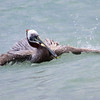 Brown Pelican Bath