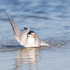 Bathing Least Tern