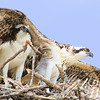 Two Ospreys: Adult with Juvenile