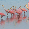 A Group of Spoonbills
