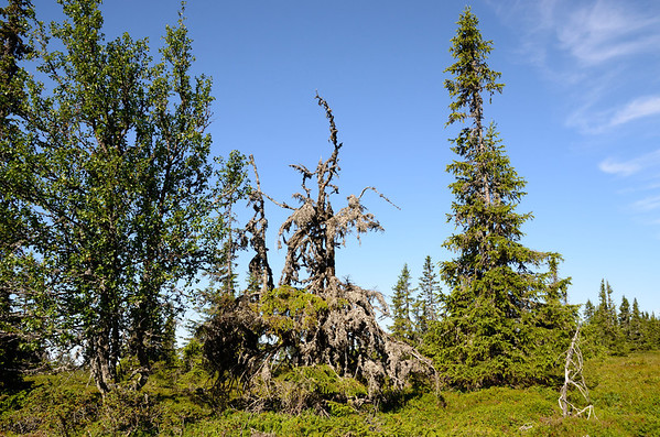 Troll trees