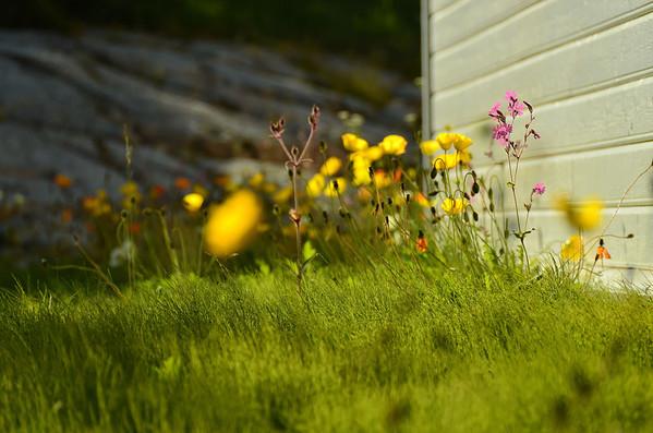 Arctic poppy and Dianthus carthusianorum