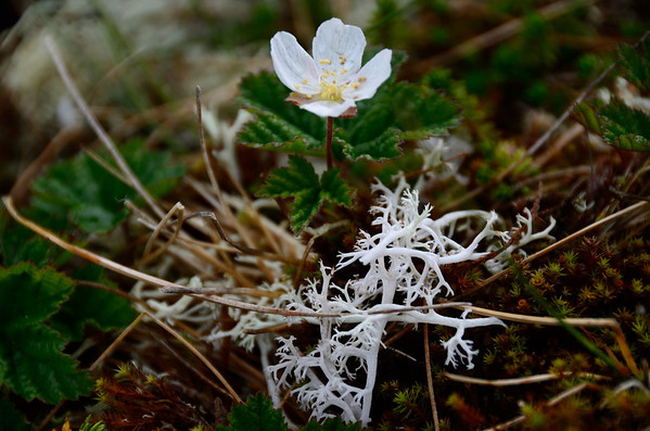 Arctic tundra vegetation