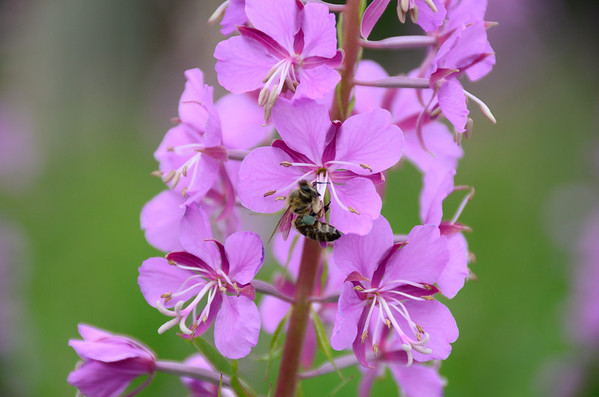Norway's national flower: Fireweed (Chamerion angustifolium)