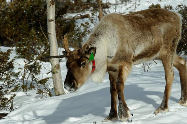 Reindeer at Bessheim