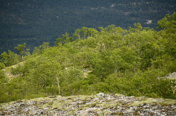 Rondane's east slopes: Birch trees