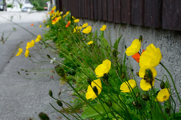 Otta streets: Yellow and orange Polar Poppy enjoys with colourful spots along naturally grown waysides.