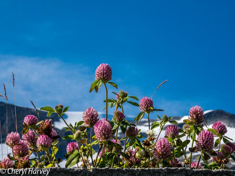 Flowers on Glacier, Trollstigen
