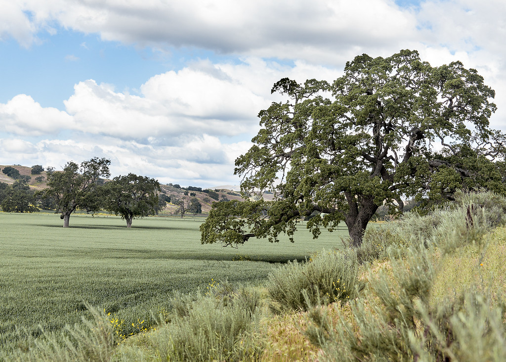 Pasture with oak trees in the Santa Ynez Valley, California