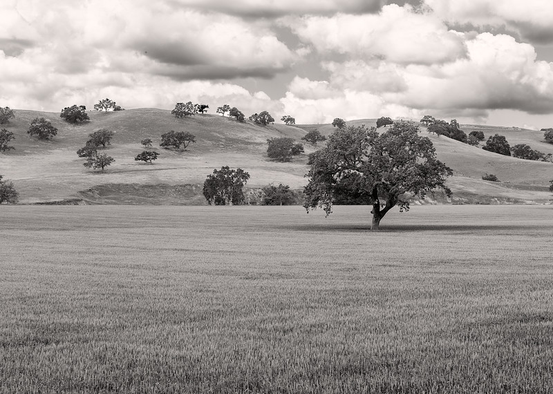 Pasture with oak trees in the Santa Inez Valley, California