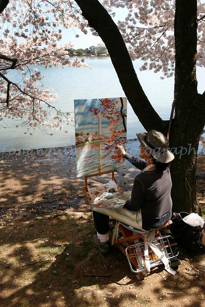 Cherry Blossoms of Washington, D.C.