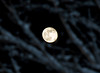 "<div class=""jaDesc""> <h4>Rising Moon - December 13, 2008 </h4> <p>A very bright almost-full moon was rising in the east, visible through the snowy branches of a maple tree.</p> </div>"