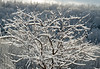 "<div class=""jaDesc""> <h4> My Favorite Crabapple Tree in Winter - December 13, 2008 </h4> <p>We had an early morning wet snow today that stuck to all the trees; then the sun came out.</p> </div>"