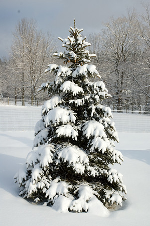 """<div class=""""jaDesc""""> <h4> Snowy Blue Spruce Tree - December 13, 2008 </h4> <p>We transplanted this blue spruce tree from the grove below our house up next to our barn.  Now we get to enjoy this scene every time we go feed the horses.</p> </div>"""