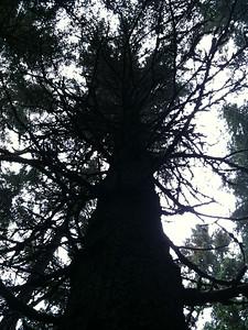 Seward AK Spruce
