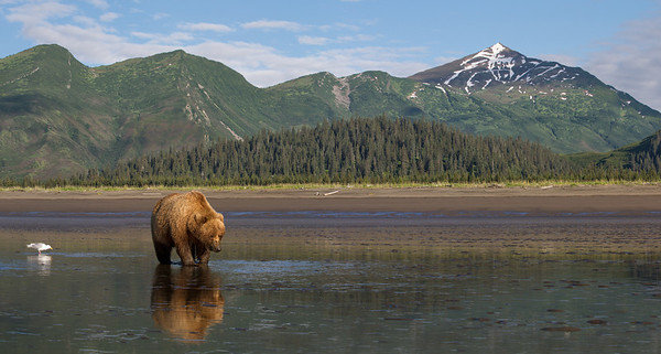 The Last Frontier Coastal Brown Bear at Lake Clark National Park, Alaska
