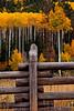 Aspens & Fence