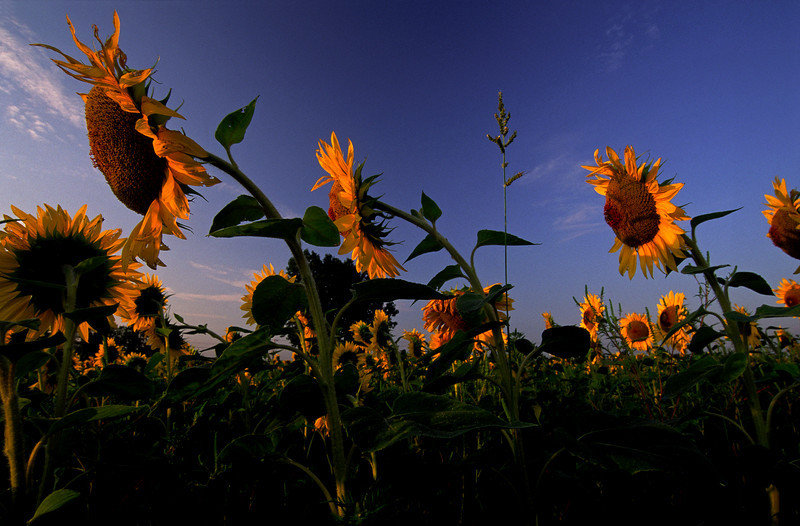 Sunflowers Reach 2