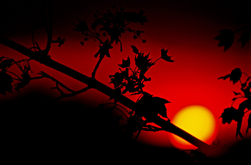 Sunset Leaves Silhouette