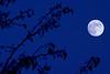 Blue Moon & Trees