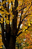 Autumn Tree 1
