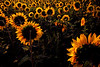 Sunflowers Waiting for the Sun