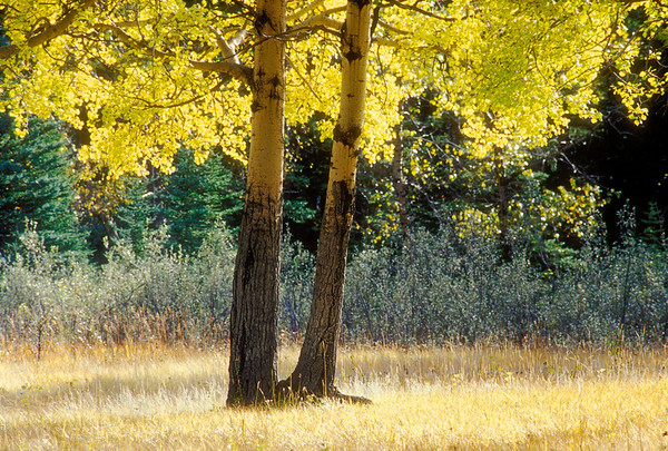 Fall Aspen Colors