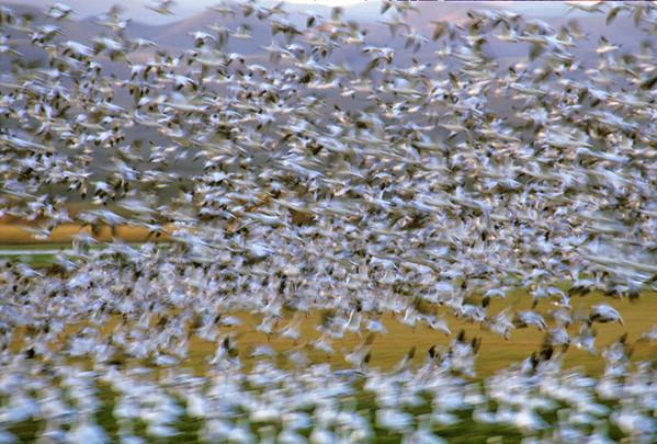 Snow Geese Departing