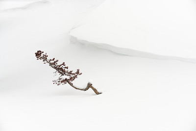 Young Tree Through Snow:  Yellowstone NP - Winter 2020
