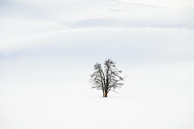 Lone Tree in Snow - Yellowstone National Park, Wyoming