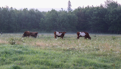 CP_artwork_cows_082219_ML