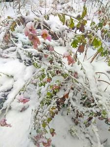 WP_First_Snow_Bklin_Frozen_Flowers_112118_JS