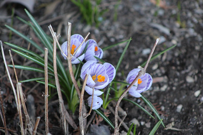 CP_spring_scenics_crocus_041119_AB