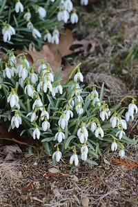 CP_spring_scenics_snowdrops_041119_AB