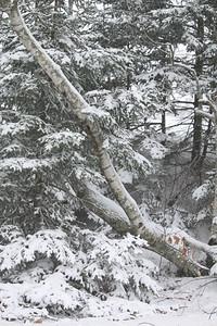 CP_first_snow_fir_trees_112118_AB