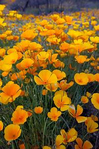 Spring Wildflowers, Poppies, bloom in the Sonoran Desert, Tucson, Arizona