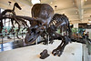 Triceratops, Horned Dinosaur Fossil, Museum of Natural History, NYC