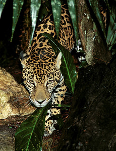 Jaguar stalking through the jungle at night, Belize