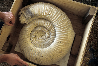 Giant Ammonite fossil awaits sale at the Tucson Gem and Mineral Show