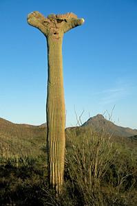 Crested or Cristate Saguaro Cactus (Carnegiea gigantea), Saguaro National Park, Arizona
