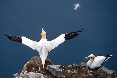 Northern Gannet couple (Morus bassanus), Saint Mary's, Newfoundland, Canada