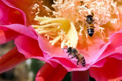 Honeybees Pollinating a Flower