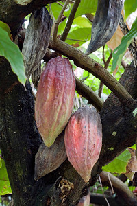 Cocoa pods, Cocoa tree ((Theobroma cacao), Dominica, West Indies