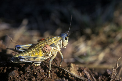 Lubber Grasshopper, Brachystola magna, Arizona Insect, pest