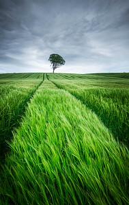 Lone tree, Ayrshire, Scotland
