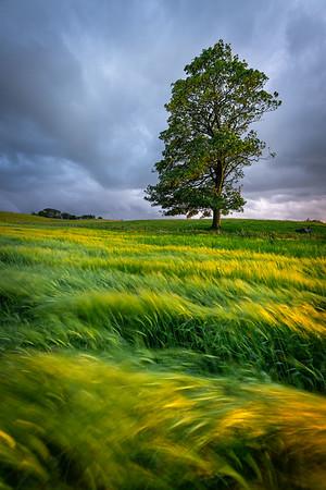 Summer tree, Ayrshire, Scotland