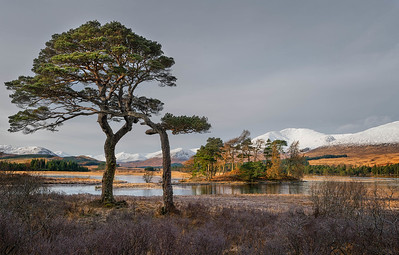 Pines entertwined, Loch Tulla, Scotland