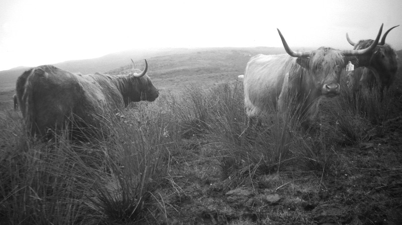 Highland Cattle, Skye