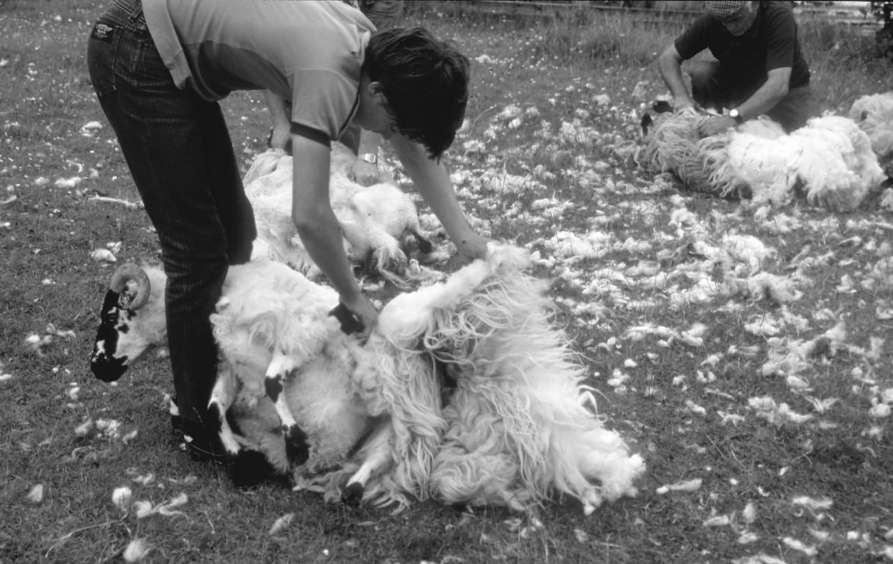 Shep shearing, Lewis