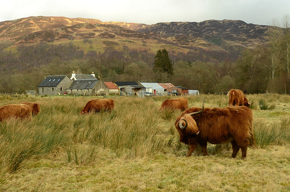 Highland cattle at Loch Venachar